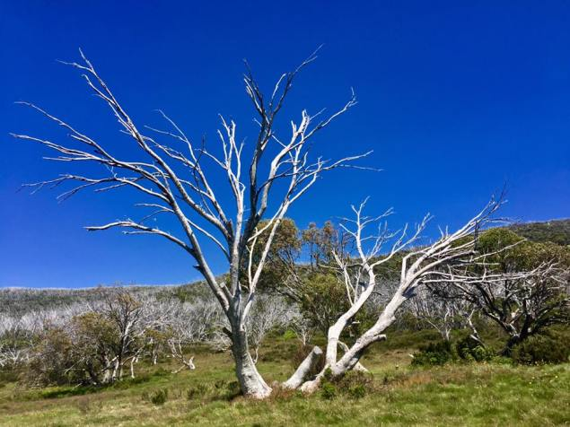 Loved this white stemmed gum trees. It made for beautiful unique landscape (Snowy Mountains).