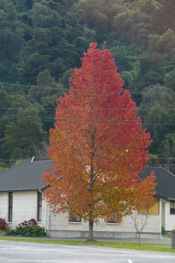 Rare colorful tree from lastest NZ trip